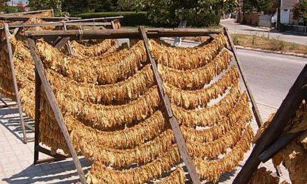 Започна откупот на тутунот, 4.700 договори повеќе од ланската реколта