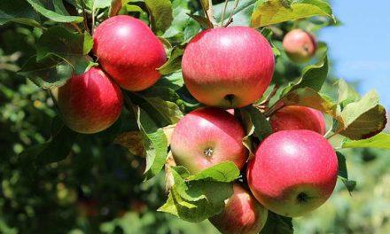 МЗШВ: Штетите на јаболковите насади во Преспанскиот регион се до 80 проценти