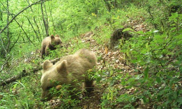 """Кафеави мечиња """"уловени"""" со фото-замката во Националниот парк Маврово"""