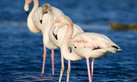 Пет розови фламинга одмораат во Преспа