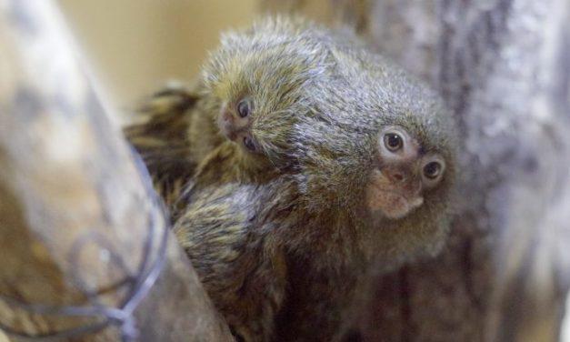 Новата сензација во Зоолошката во Скопје: Бебето мармозетче порасна доволно за да се слика и да прави фризури